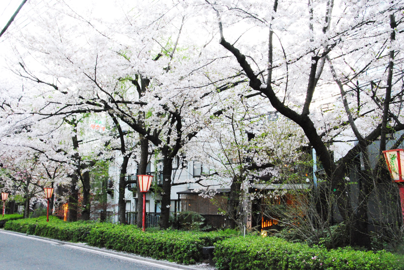 kyoto-street-during-cherry-blossom