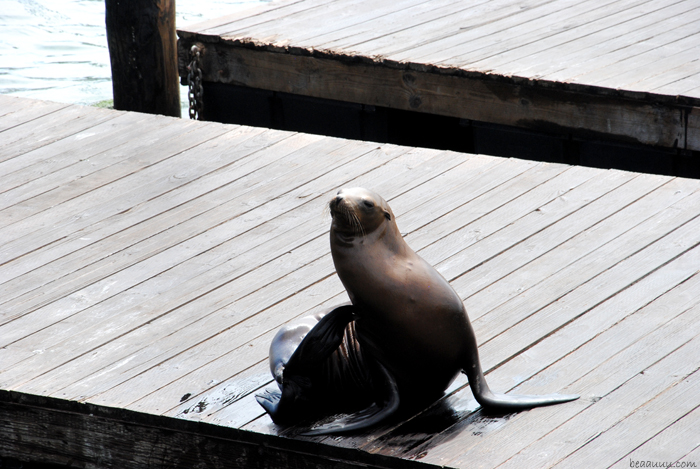 san-francisco-sea-lion-otarie-pier-39