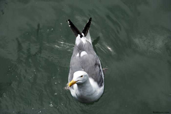 san-francisco-seagull-goeland