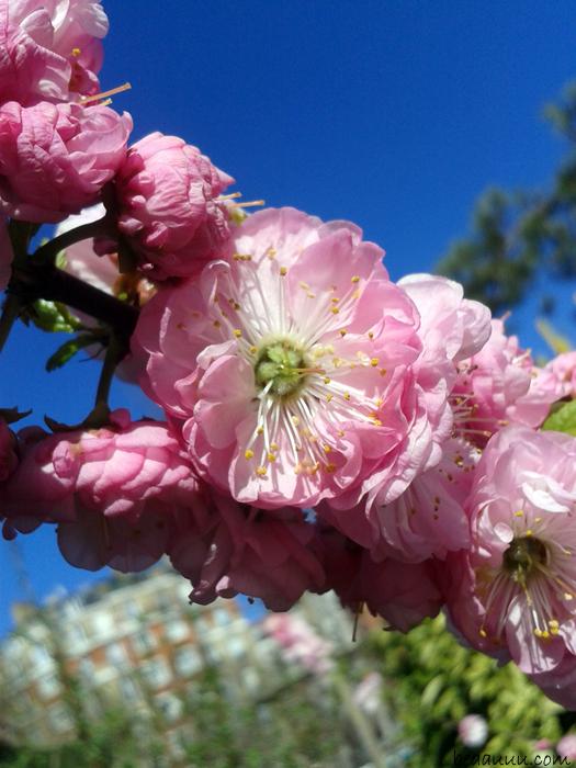 cherry-blossom-cerisier-en-fleur-paris