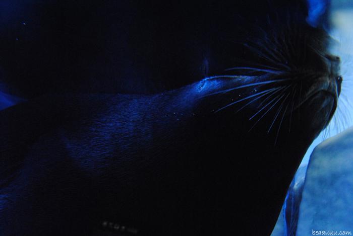 otarie-seal-moustache