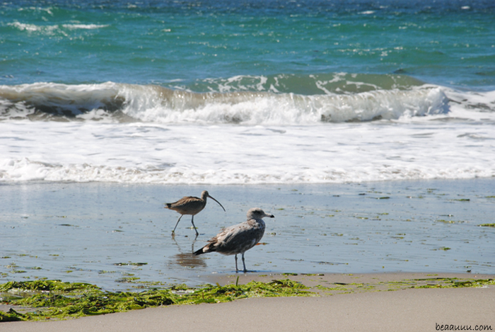 goeland-curlew-courlis-cendré-monterey-california