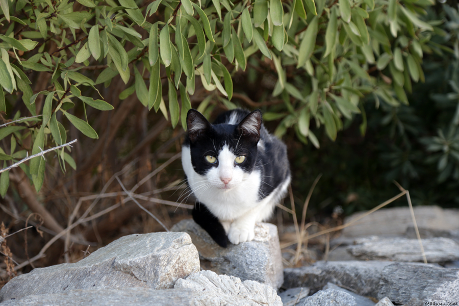 cat-white-and-black-paros-chat-blanc-et-noir