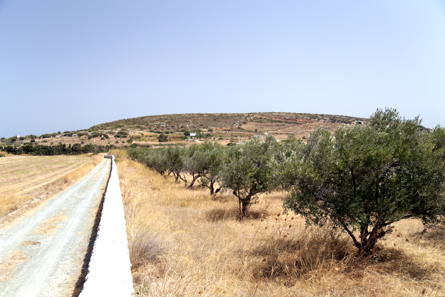 champs-d-olivier-paros-grece-2