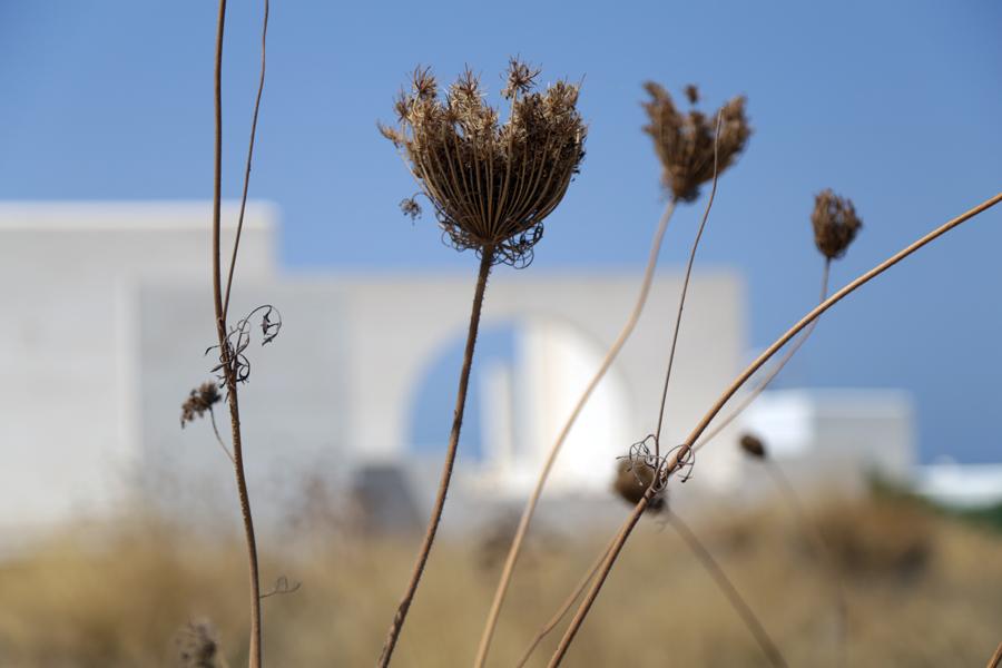 fleur-sechée-paros-grece