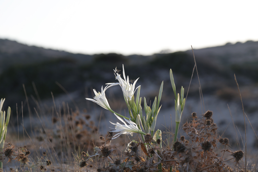 flower-koufonissi