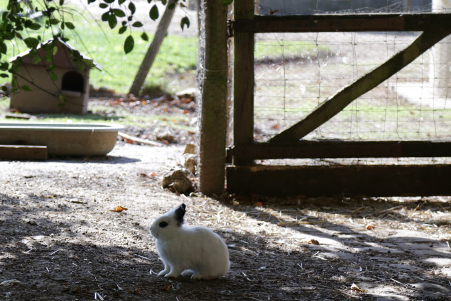 rabbit-versailles-farm