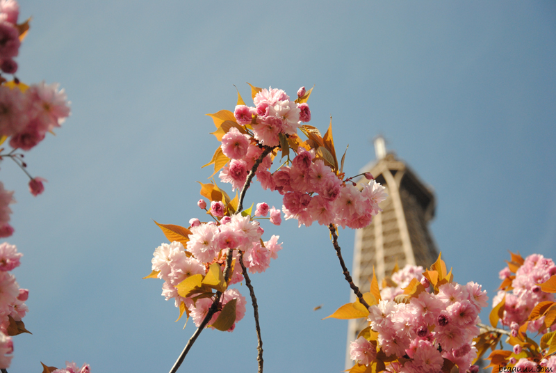 cerisier-en-fleurs-tour-eiffel-paris