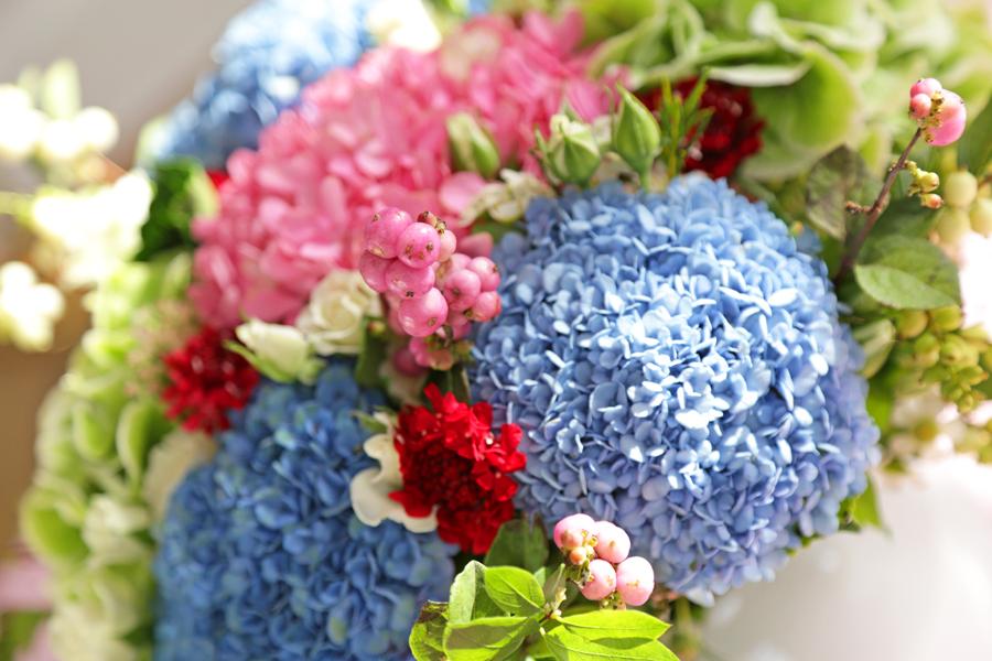 hortensia-rose-et-bleu