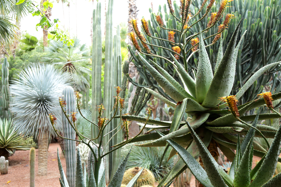 jardin-majorelle-cactus