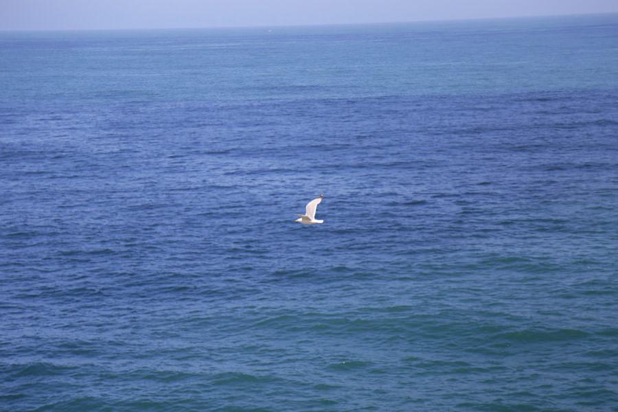goéland volant atlantique aquitaine
