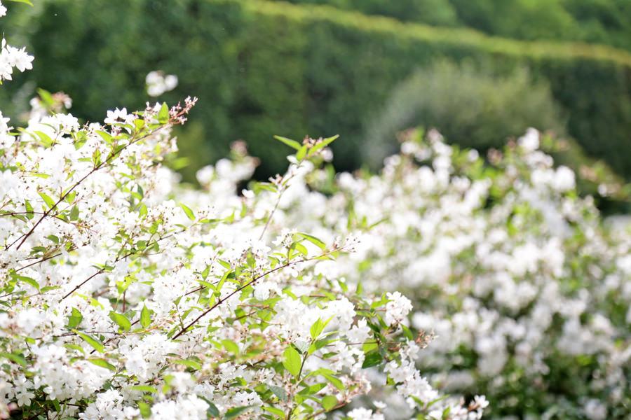 petites-fleurs-blanches
