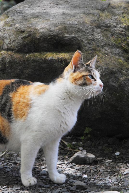 kyoto-japan-cat
