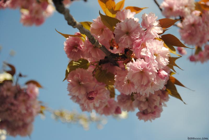 cherry-blossom-eiffel-tower-1