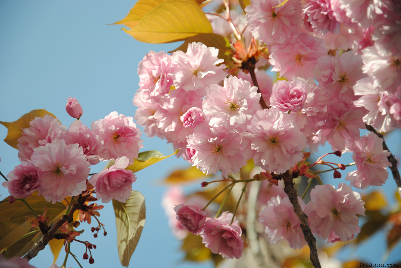 cherry-blossom-eiffel-tower-10