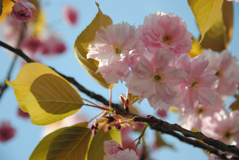 cherry-blossom-eiffel-tower-11