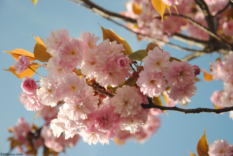 cherry-blossom-eiffel-tower-2