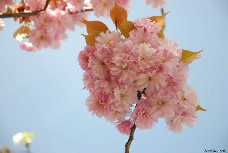 cherry-blossom-eiffel-tower-6