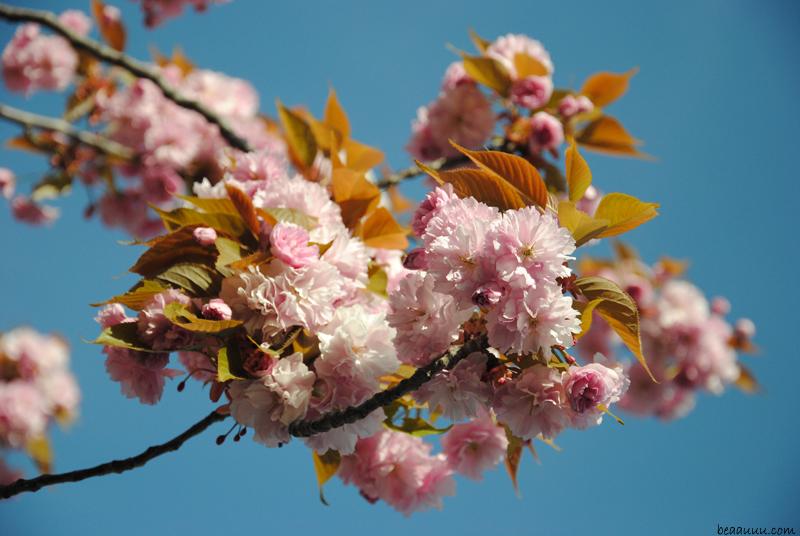 cherry-blossom-eiffel-tower-9