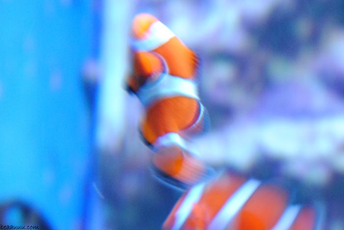 clown-fish-poisson-clown-nemo-poisson-tropical