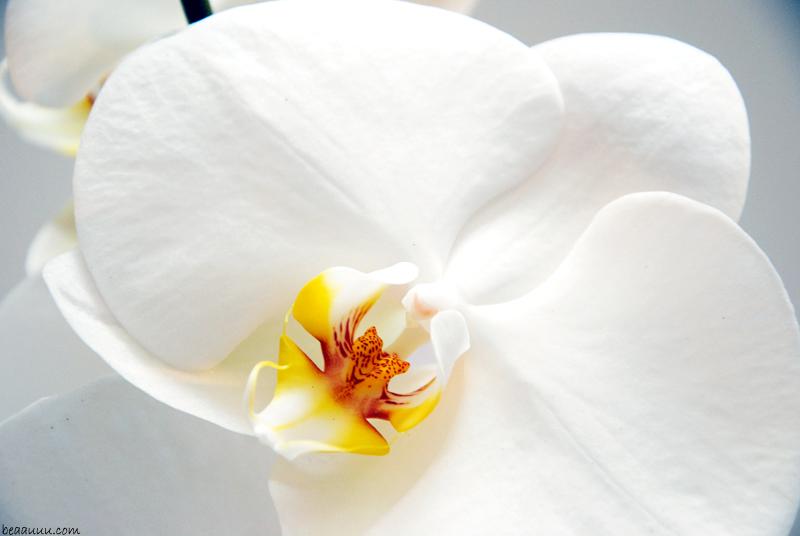 orchid-orchidée