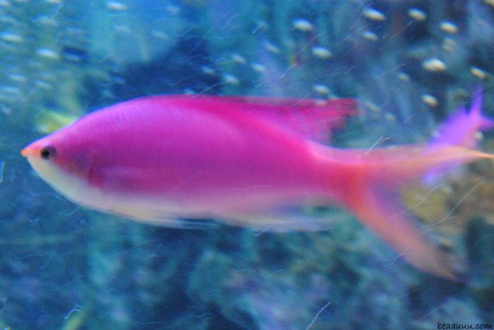 pink-fish-poisson-tropical-rose-tokyo-aquarium