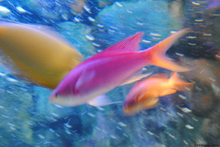 pink-yellow-fish-poisson-tropical-rose-jaune