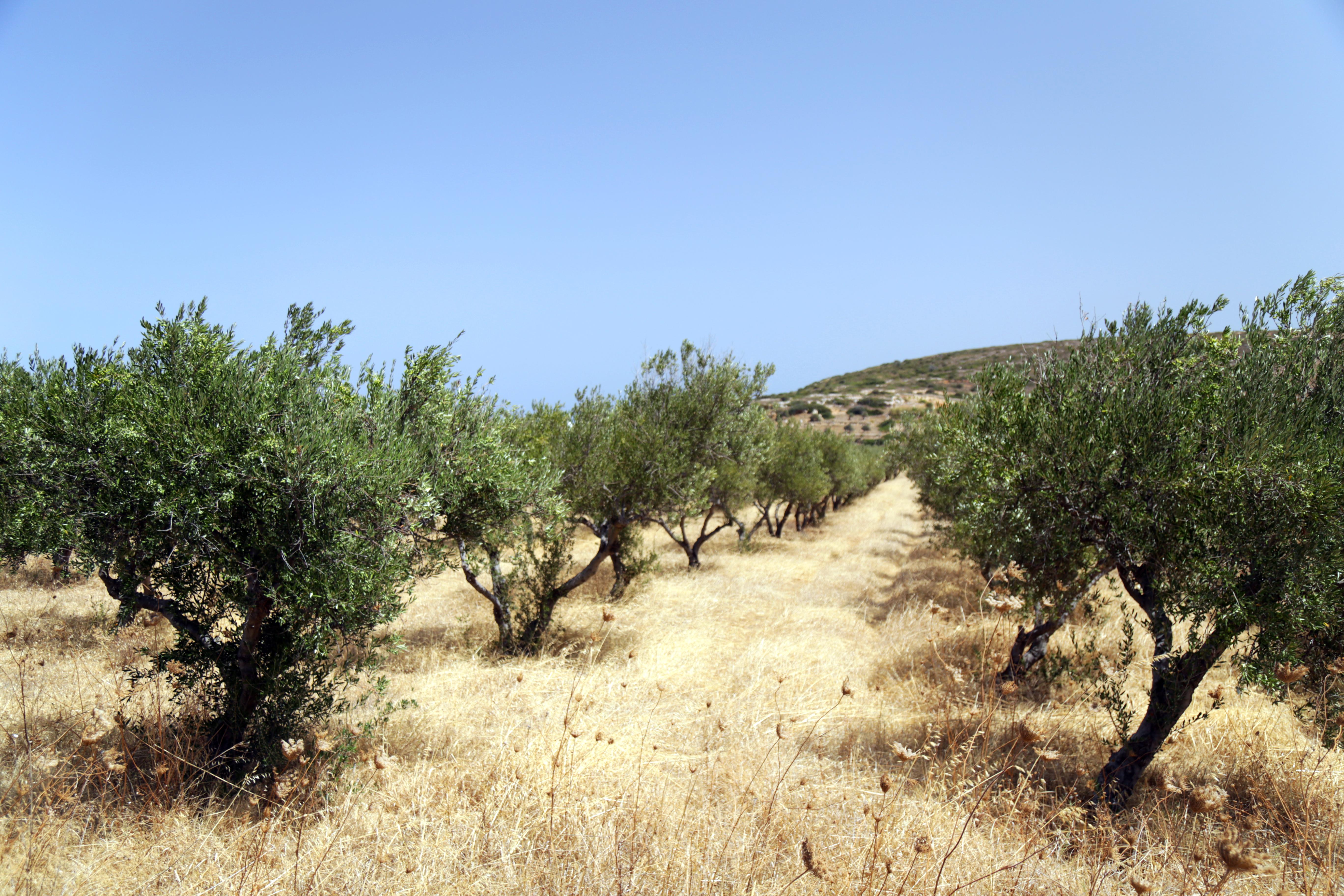 champs-d-olivier-paros-grece